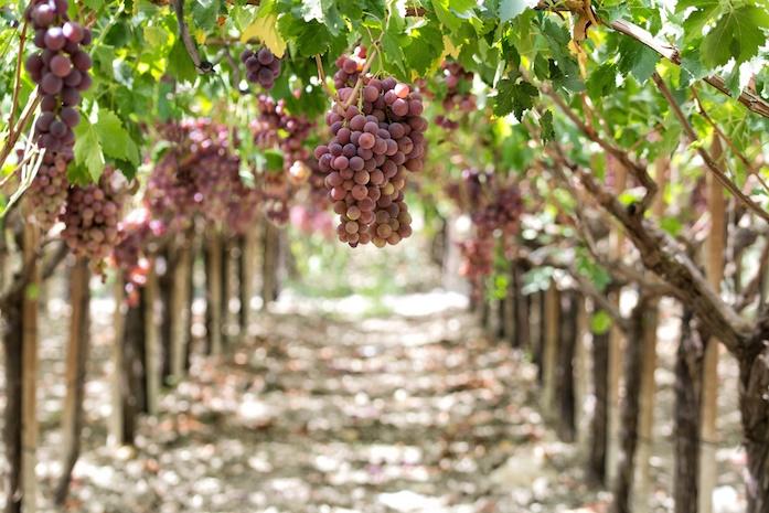sizilien ferien guide essen trinken weinberg wein weinverkostung weingut tradition weinanbau